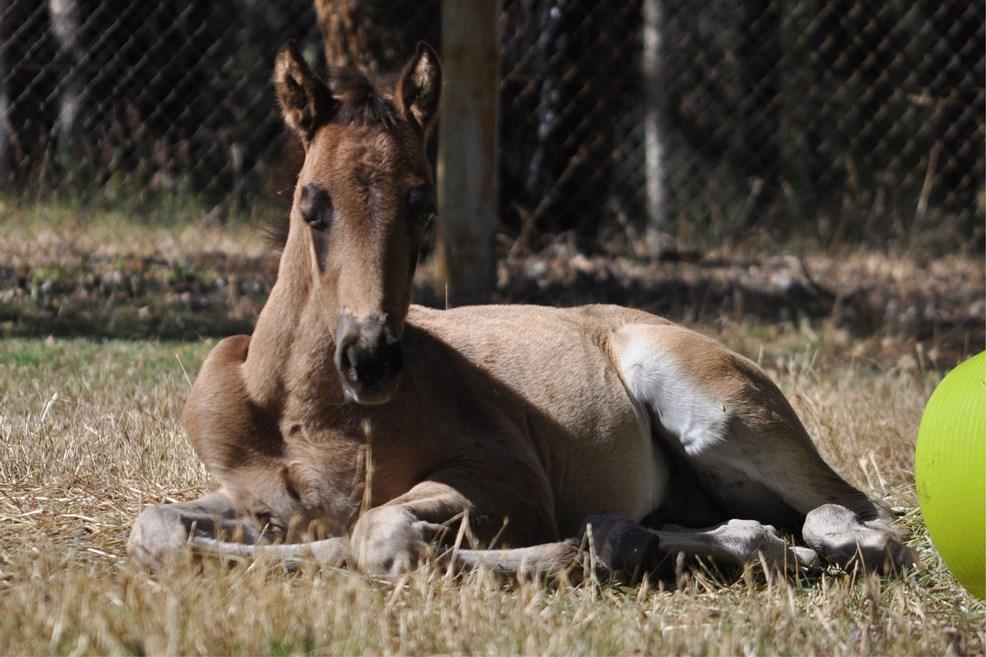 foalsbuckyresting